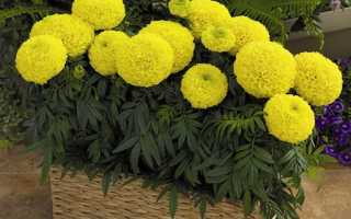Ампельные цветы для балкона фото и названия